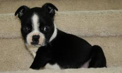 AKC registered boston terrier pups ready to go to their new home. At eight weeks, they are updated on shots and deworming. Black and white in color, they have very attractive features, calm and sweet, they are an ideal pet.