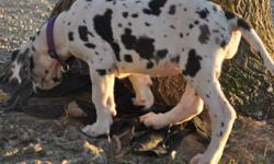 These pups are 50% euro and will be huge! Luna is a show marked girl with great potential and has a great build nice head and good euro bone with a good topline. I am asking 1400 for Luna on full reg Breeding rights/ show home. I will let her go for 1200