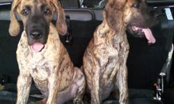 AKC Great Dane puppy 7/8ths European. We have only 2 Brindle Males available. They are 16 weeks old..... Marcellus Of Island's Dream(Sire) is 100% European and Lady Berlin Dreams Big(Dam)is 50% European! So they are 7/8ths Euro! They are AKC Registered