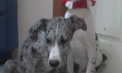 We have 2..... 5 mo. old pups, a Merle girl, & a Harl. boy. Both are very sweet, have all shots, and need forever homes. If you are interested, please call.... ...thanx!