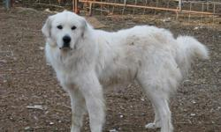 This big beautiful boy has many champions in his pedigree. He is a proven breeder he has produced several big beautiful litters. He is a working herd dog, he protects my goats from any danger. He has a great temperament. For more info please contact