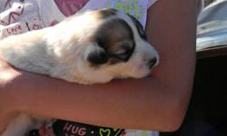We have six, 1 male and 5 females, AKC Great Pyrenees puppies for sale. The come out of working Livestock Guard Dogs (LGD). Puppies are now being exposed to goats. The puppies will be available first week in June. 50% deposit holds the puppy of your