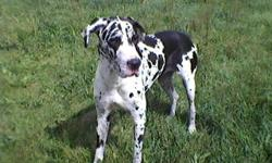 Beautiful AKC Harliquin Dane pups due the beggining of January! carefully breed for wonderful dispositions and good health so they will bring as much love and joy to your family as my dane has brought to mine. Both mother and father are of excellent