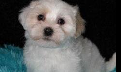 Beautiful AKC Havanese available very exquisite looking males Very nice coloring. Both Parents are on the premises very good temperaments Healthy .The parents have had eyes certified . All of my puppies will be up to date on their vaccinations and wormed