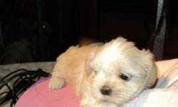 AKC imperial 8 wk od female Shih Tzu. Has first shot and AKC papers. Also receive copy of parents papers. Paper trained. Call 702 982-7951 2 Other puppies listed on website www.thatsmylittledog.com