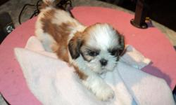 AKC imperial 8 wk od female Shih Tzu. Has first shot and AKC papers. Also receive copy of parents papers. Paper trained. Call 70982-7951 2 Other puppies listed on website www.thatsmylittledog.com