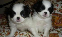 We have 1 male left: red/white Vaccines and deworming up to date. Pad training started. Sweet and loving puppies - to indoor loving forever homes only. Just reduced price frm $600 to 350.
