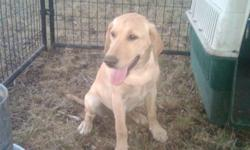 ACK Registered Yellow Pointing Lab Puppies for good home; Both parents excellent backgrounds and proven performers as family companions and in the field; 4 months with some basic obedience training, showing point, and retrieving. Excellent for hunting or