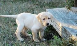 AKC Yellow Lab puppies 3 females left 9 weeks old GRAND MA'S TIRED REDUCED PRICE TO SALE