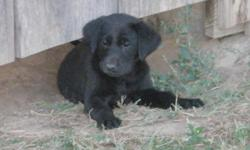 All black litter pups will have a health guarantee on all. Declaws and 6 week shots. The parents have outstanding bloodlines and proven hunters/field work. 6 Black females and 1 black male, left price $250.00. References available. Rey Martinez