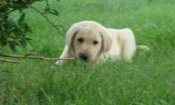 WE CURRENTLY HAVE FOUR MALE YELLOW LAB PUPPIES AVAILABLE, HAVE HAD DEWCLAWS REMOVED, BEEN DEWORMED, HAVE HAD FIRST PUPPY SHOT, AND CHECKED BY OUR VET. WILL COME WITH AKC PAPERS. PUPPIES ARE VERY SOCIAL AROUND OTHER DOGS AND CATS, AND LOVE ALL THE