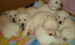 """Outstanding litter of purebred Labrador Retriever pups! Dam is """"Tender Hearts Golden Phoenix"""" our exceptionally sweet, beautiful and loving family pet. Sire is the much sought after """"Flushing Bronco""""; treasured family pet and accomplished hunter. Phoenix"""