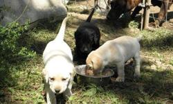 AKC Lab puppies -- 3 yellow (2 male & 1 female) and 1 black (male) AKC Lab puppies for sale. Born June 10, 2011. Will be ready for pick-up July 29,2011. Come look and pick one out. Will take 1/2 down as a deposit to hold it until weaning date. $450 each,
