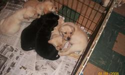 AKC Registered litter, each puppy comes with papers, first shot and already wormed. Puppies are 8 1/2 weeks old. 2 black females, 2 yellow males and 1 yellow female left. All puppies are English labs, that's the more stocky block head looking labs. Mom