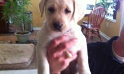 Great Hunting Bloodline or great pets. Born December 27th 2010. Puppies were all colors; yellow, black, and chocolate. 4 Yellow famales, 2 yellow males, 2 black males, 2 chocolate males. 1st and 2nd round of shots have been received. Please contact for