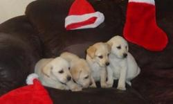 "Born October 27, 2012.  Just in time for Christmas!!! First shot given and dewclaws removed.  Both parents on site. Dad is yellow and mon is white ""cream"".  We have males and females available. Please call/text or email if interested. ()-"