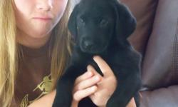 AKC Lab puppies for Sale Born on May 5, 2011 we have AKC lab puppies for sale have all paperwork pups have first shots and have been checked by the vet we have 2 brown males, 1 black female, 1 yellow male, 3 yellow females The brown males have blue eyes