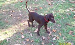 6 month old, AKC registered chocolate lab puppy. He is from Champion bloodlines on his sire side. He is show quailty. He is fixed, microchiped, crate trained, utd on shots,his hips have been tested and found sound, great with kids, and people. He