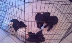 2 White Female, 2 Black Female, 3 Black Male puppies available for sale. Black pups are 450.00 and the Whites are 500.00. All puppies are AKC registered, come with paperwork, leash & collar, have first set of shots from Vet on 9/17/2011, and more.