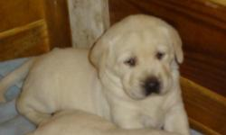 We have 6 beautiful lab pups that were born on Nov. 19, 2012.  There are 3 males and 3 females.  The parents are both blonds and are on site.  The sire weighs over 105 lbs and the dam weighs about 80 lbs.  The pups will be 8 weeks