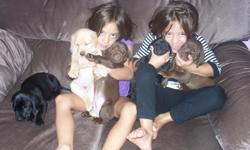 AKC Labs pups, all colors, Dew claws, deworming and first shots done. Born 7/11/11, available now.