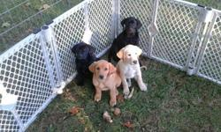 AKC Registered Labrador Puppies born 8/4/12; available 9/22/12. Will have all shots. 4 yellow; 7 black; 5 Female; 6 Male. Mom & Dad both excellent hunters -AKC Registrations and Certified Pedigree available for Mom &