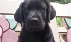 AKC Black Labrador Retriever puppy who was born on April 2, 2011. He is price reduced to $300.00. He is very social, loves people and other animals, loves to play with his toys, and gives lots of kisses. He a great personality. If you would like more