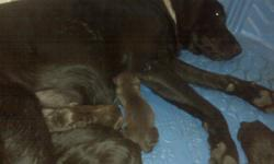 Litter of AKC Chocolate and Black Lab puppies born 06/18/11. Ready for new homes July 30, 2011. Sire is Chocolate with AKC Champion bloodline. Dam is AKC Black Lab. Parents on site. Puppies will be current on vaccinations, deworming and have registration