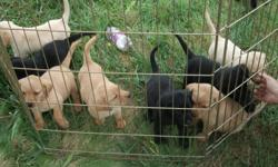 Ready for new homes now. They are 7 weeks old and eating on their own. They had their first shots and worming done. They come with a puppy pack i call it,AKC papers,Father and mother pedigree and more. We only have left 2 Black Males,1 Yellow Male and 2