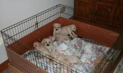 These are beautiful yellow lab pups. Stocky and blocky, English bloodlines. 8 weeks old and utd on shots and wormings. Visit us on the web at www.noreasterlabradors.com orcall --.