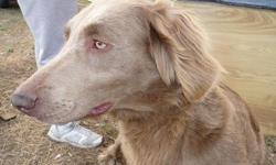 RAPUNZEL is a beautiful long-hair Weimaraner. She has had 1 litter and is a great mother. She was born 12/20/2007 and is very social with people and other dogs. She is intact.