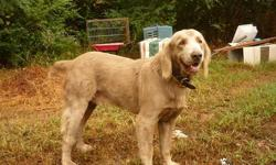 Sampson is an AKC Long-Hair Weimaraner intact male born 12-20-07. He is a gentle giant who loves to be petted. He is shy until he knows that you won't hurt him and then he won't leave your side. I am reducing my pack so if you can give him a good home,