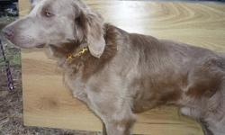 Absalom is a Long-Hair AKC Weimaraner intact male. He is utd on his shots and wormings and is very smart. Absalom is well-socialized with people and other dogs. He loves the water, winter or summer. Absalom was born 10-9-09 and I am looking for a good