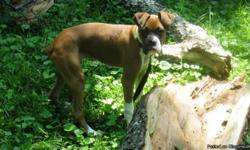 Beautiful, healthy full blooded male Boxer! He is a flashy and very energetic! He has not been neutered and has had only his first set of shots. New owner will get AKC papers to be sent in to get his certificate if they desire to do so. My wife and I are