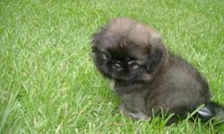 Beautiful AKC male pekingese puppy 17 weeks old with champion bloodlines. This little boy is a sweetheart. He enjoys playing and giving kisses. He is raised in a loving home with children and is well socialized with other pets. This baby has superb