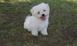 Precious babydoll face maltese male available. Current on vaccinations and worming. Comes to you pre-spoiled with AKC paperwork, health guarantee and health records.