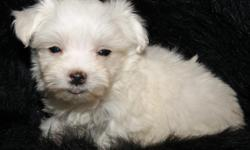 Adorable AKC Maltese puppies. 2 males to choose from. Very sweet, pre-spoiled puppies that loves to play. They are Ready to go to their new homes. They are already getting very nice non-shedding coats. They will be small 4 to 5 lbs. They will go to their