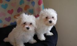 We have eight Maltese puppies for sale. Six males and 2 females. They are AKC reg. and are 14 weeks old. They are hypo-allergic and non-shedding. They are very cute and cuddle with great personalities. They will be about 5 to 8 lbs full grown. They are