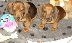 3 male mini dachshunds red smooth coated puppies. All have had their shots. They are from Champion Blood lines. Hand raised with young children from day 1. Bred for outstanding temperments and quality according to the breed standards. A must see!