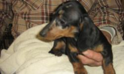 I have 2 female dappled dachshunds that are quite small Will not be 10 pounds. All shots and wormed Child riented, Very active and healthy.Call for information to 641-228-4686 or email pinetreeacres1@msn.com They are three months old and health guaranteed