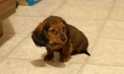 We have mini dachshunds in all coats, colors, and sizes. Very playful, energetic, and clever breed. Each pup/dog is raised with lots of TLC and socialized properly. They are all UTD on shots and worming and come with a 48 hour health guarantee. These dogs
