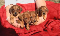 6 males. First shots and wormed. Ready to go on November 8. Pardon the pictures, the little guys JUST DIDN'T WANT TO BE STILL! Phone: 561/274-1075 or email: debsdoxies@yahoo.com