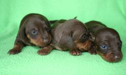 I have 3 AKC registered smooth chocolate/tan miniature dachshund females. They were born on October 25, 2012 so they are 2 weeks old right now. They will be ready just in time for Christmas! When they are 8 weeks old, on December 20th, they will be ready