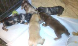 Only 1 boy left!!! Beautiful miniature dachshund puppies. They are 9 weeks and up to date on their shots and dewormer. I have 1 boy that is black/silver and tan dapple. They are the sweetest puppies ever and well socialized. They are AKC registered and
