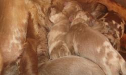 Romero Cajun Cutie Doxies has beautiful puppies for adoption. We are a family operated business with socialized, well tempered & gorgeous little dachshunds. Our website is www.romerocajuncuties.webs.com We have isabella/tan, isabella dapple, chocolate