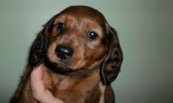 AKC reg. Red Sable Miinature Dachshunds they where whelped 11/6/12 1 smooth hair Female  1st shots & dewormed Available 1/3/13 -- Cash Sales only Family raised Parents are on site