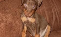 AKC Min Pins for sale. Two Chocolate/Rust Males and Two Black/Rust Females for $300.00. We take care of first set of shots and wormer. Tails have been docked and dewclaws removed. Born on 06/01/2010. Mother is Fawn/Rust and Father is Chocolate/Rust.