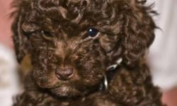 The following puppies have different prices - prices are displayed at http://peggyspoodlepuppies.com/litters1.htm This new litter was born 6/25/2011 and they have 48 champions in their bloodline. This litter consists of 5 puppies; 1 blk male, 2 choc.
