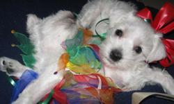 Adorable AKC White Mini Schnauzer puppies looking for a home. There are some that are 6 weeks old and some that will be ready Christmas morning. They are great with children and extremely smart. Please call me at 561-417-3114 or 561-417-3114