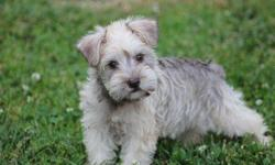 Little Valley?s Miniature Schnauzers, We have a liver pepper female She is AKC registered. Prices start at $500.00 & can go up depending on Full AKC or Limited AKC. All puppies are raised inside our home. Puppies will not be ready to go until they are 8